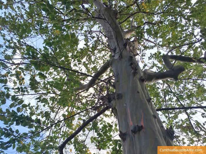eucalyptus deglupta bagras